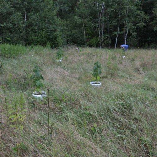 Bocheńscy policjanci likwidują nielegalne uprawy konopi indyjskich