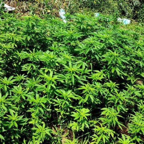 Policjanci zlikwidowali kolejną, dużą nielegalną uprawę konopi indyjskich, zatrzymali plantatorów i zabezpieczyli narkotyki o szacowanej wartości ponad 200 tysięcy złotych